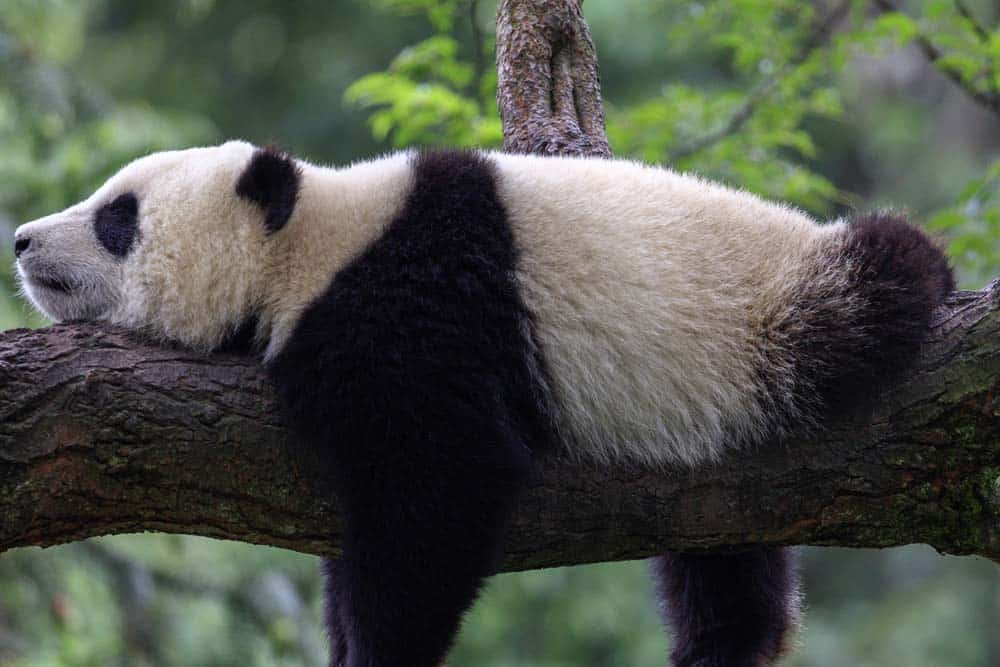 A giant panda sleeping in a tree.