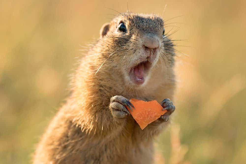 Ardilla de tierra sosteniendo un trozo de zanahoria con la boca abierta.