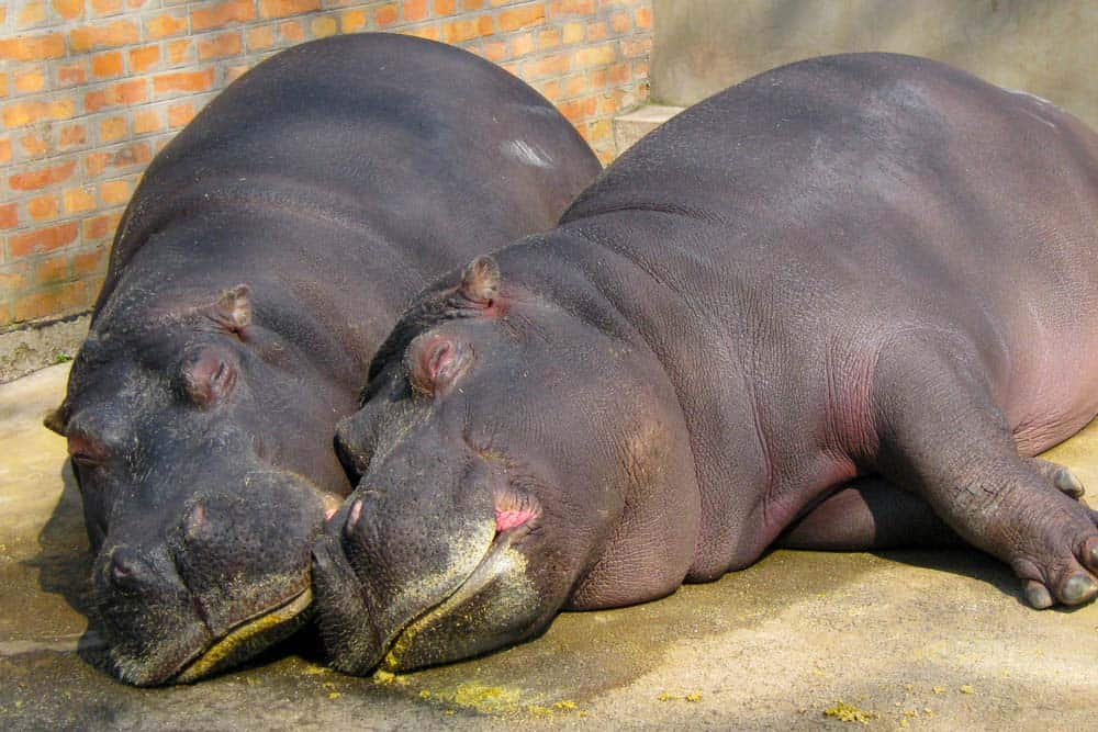 Two hippos sleeping on a concrete surface within a zoo enclosure.