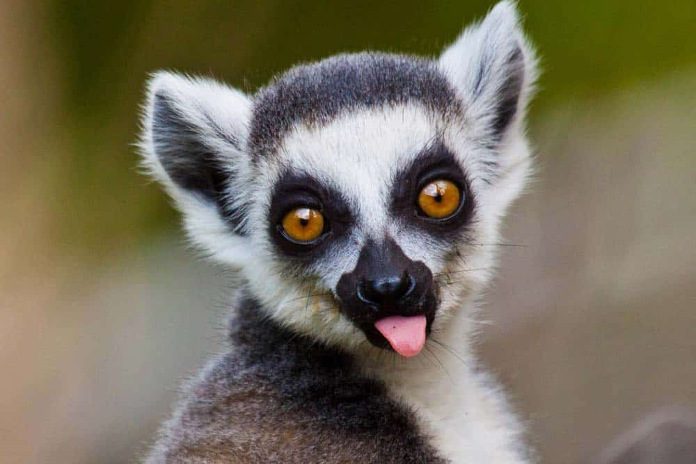 A close-up of a lemur with its tongue sticking out.