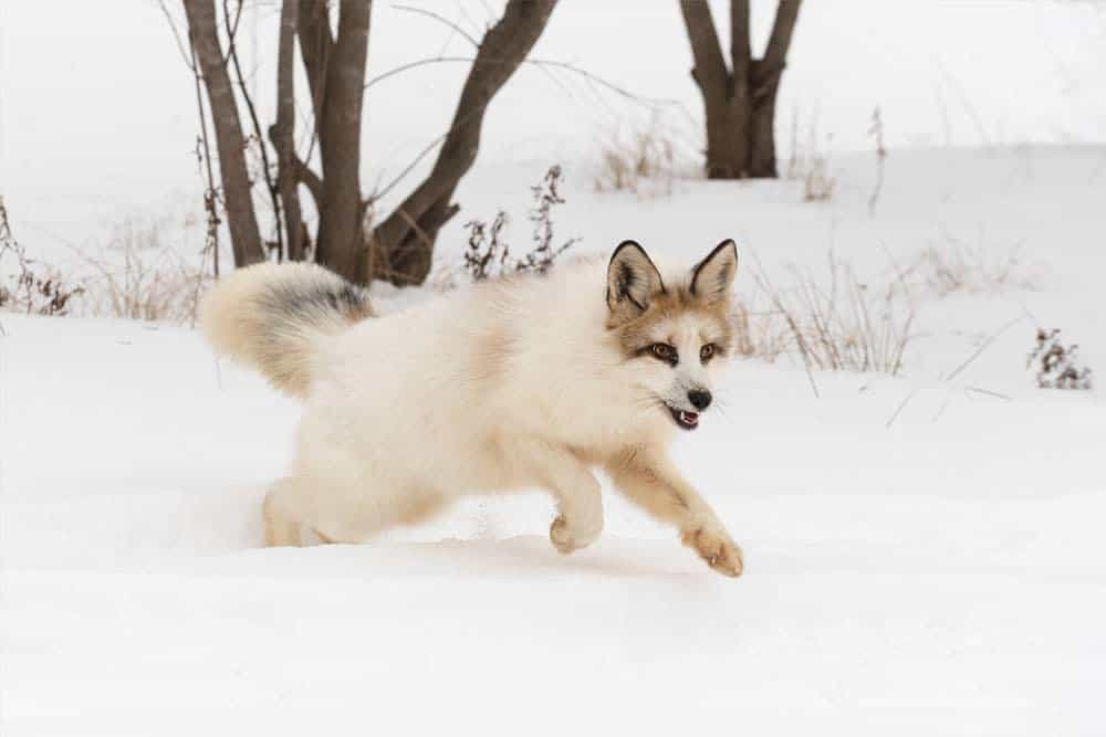 A marble fox running through the snow.