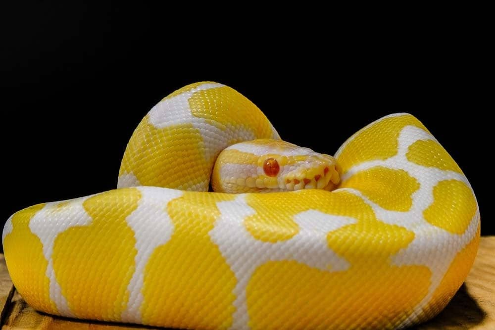 A yellow and white python with red eyes against a black background.