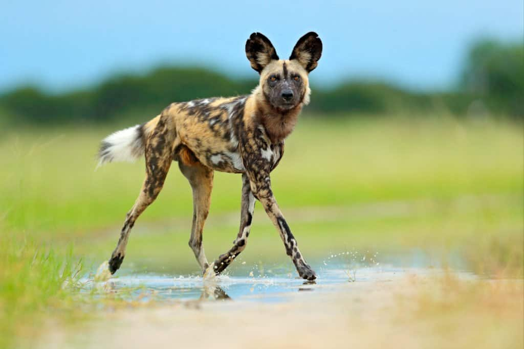 An African wild dog walking through a puddle in a field.