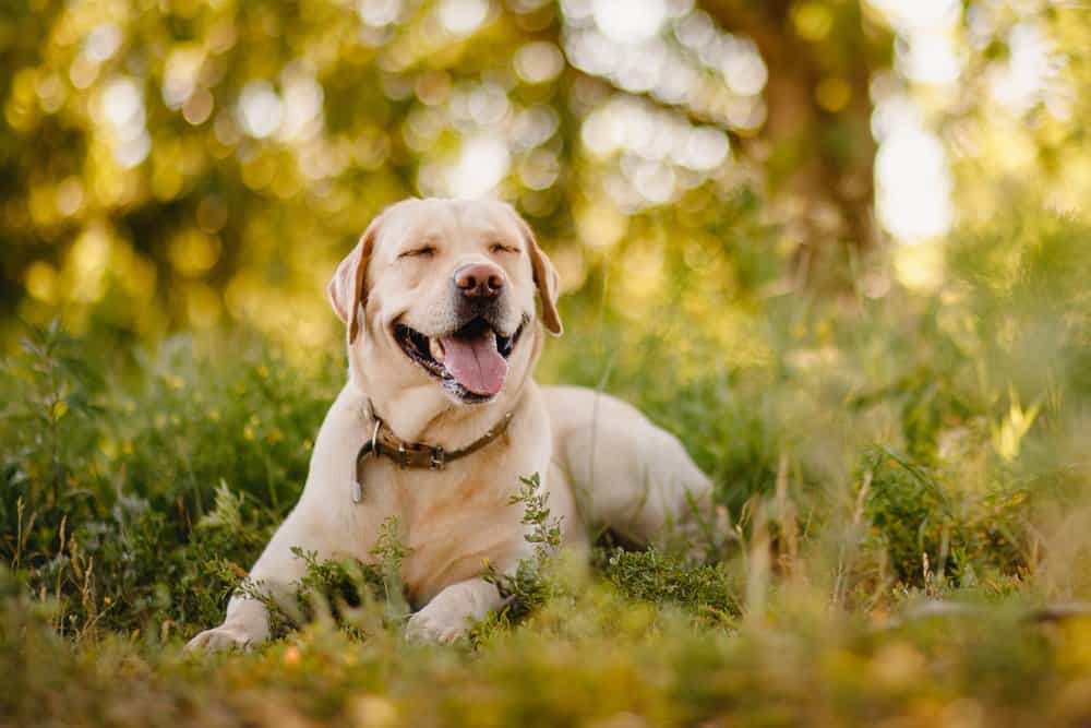 A Labrador Retriever laying in tall grass with its tongue out.