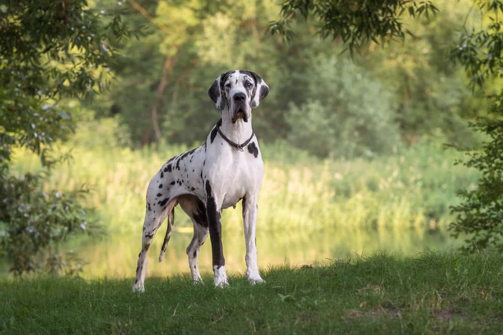 A Great Dane standing in the grass near a stream.