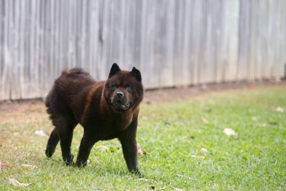 A dark brown Chow Chow standing in the grass.