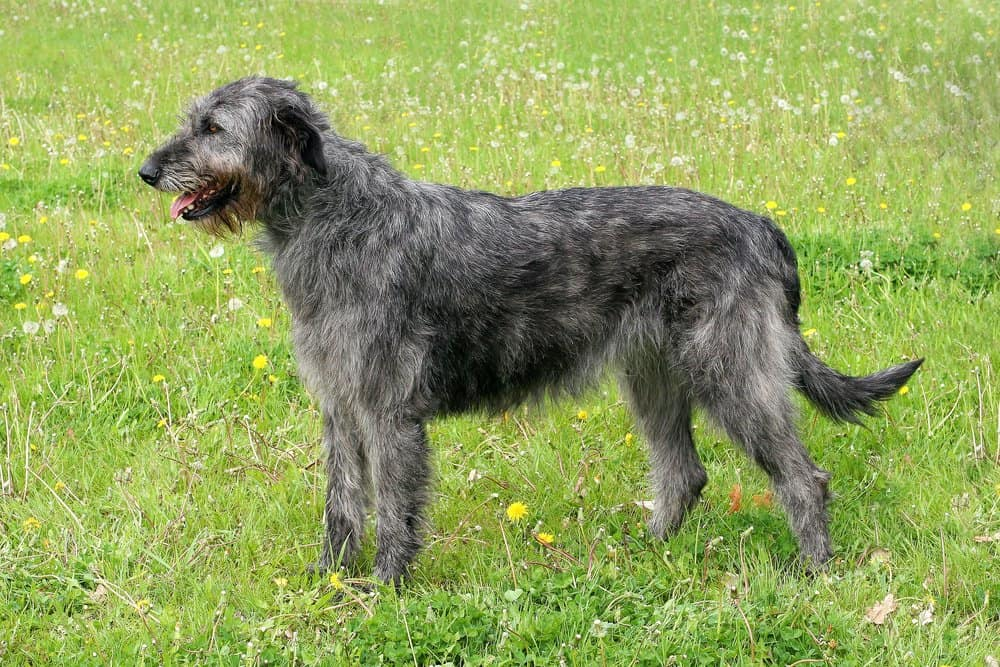 A grey Irish Wolfhound standing in the grass.
