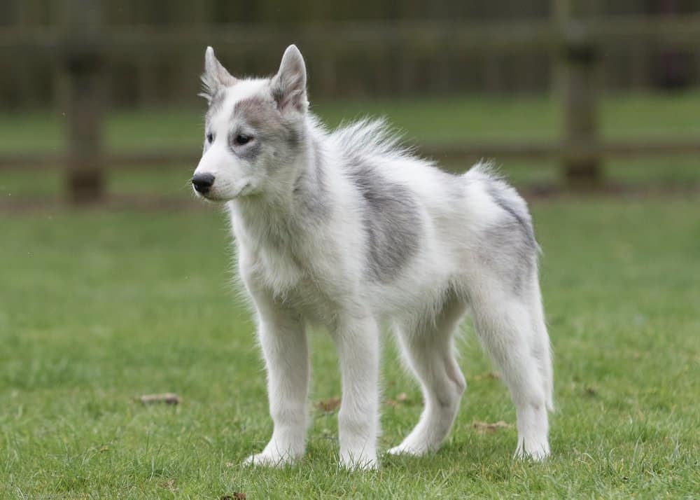 A Canadian Eskimo dog standing in the grass.