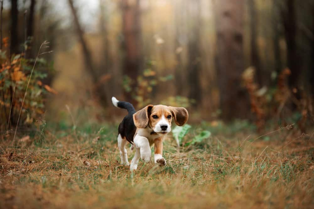 A beagle running through the woods.