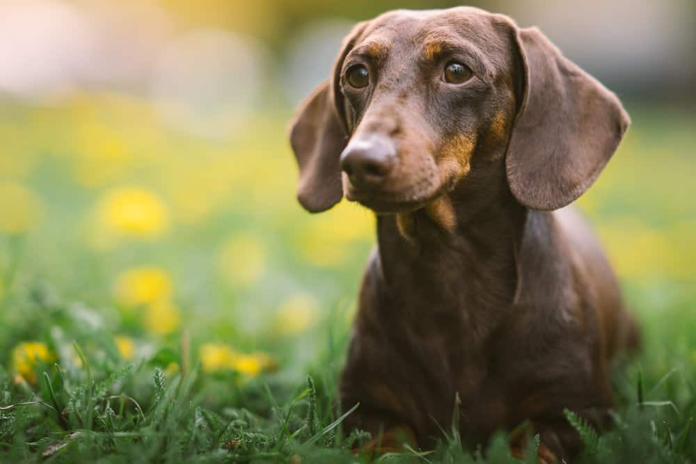 A Dachshund laying in the grass with dandelions in the background.