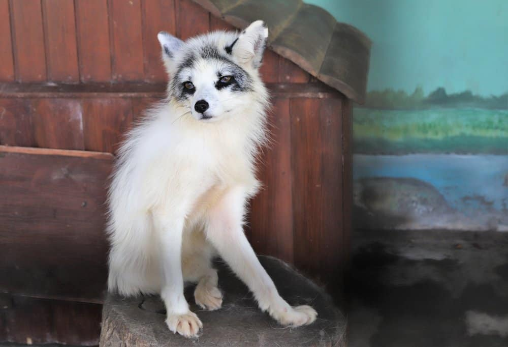 A captive marble fox sitting on a tree stump.