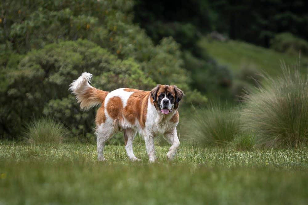 A Saint Bernard walking through grass.
