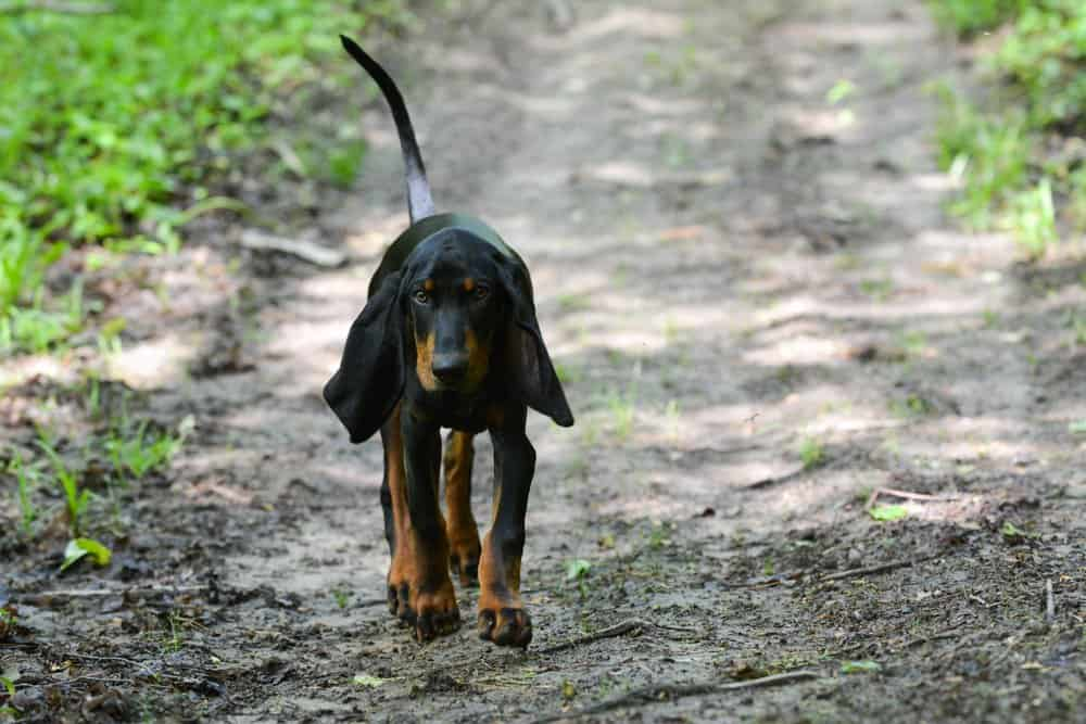 A Black and Tan Coonhound walking along a dirt path.