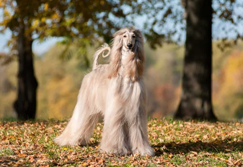 An Afghan Hound standing on grass near trees.