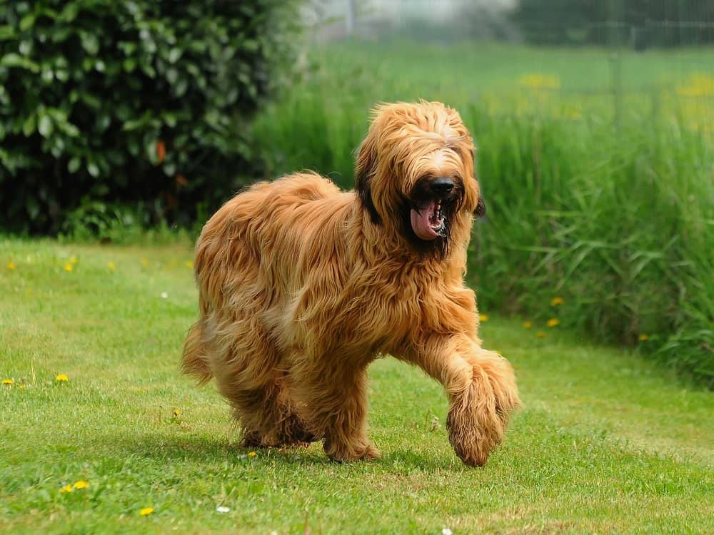A Briard mid-run with its tongue out in the grass