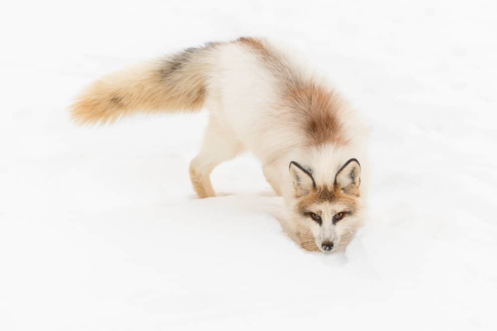 A marble fox crouching near the snow-covered ground.