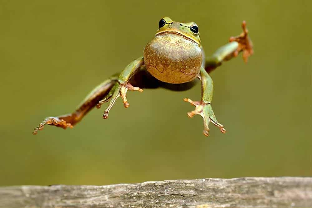 Una rana de madera a medio salto.
