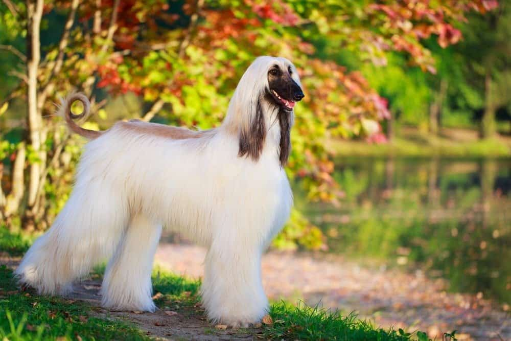 An Afghan hound standing in a park near a body of water.