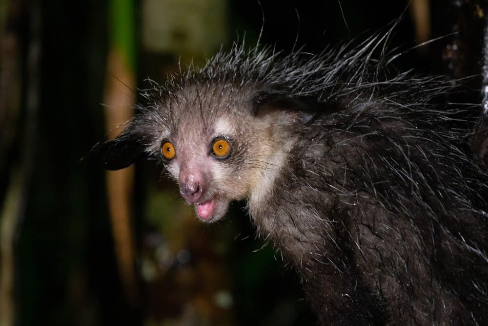 A close-up of an Aye Aye with its mouth open.