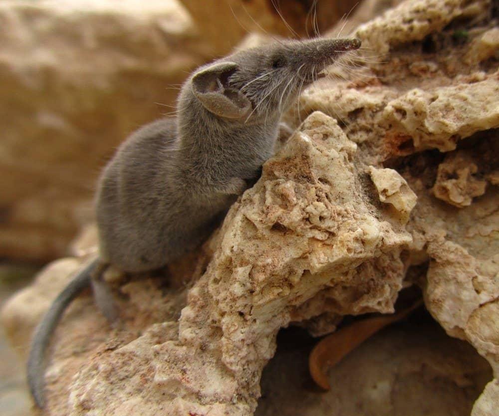 smallest animals - Etruscan Shrew