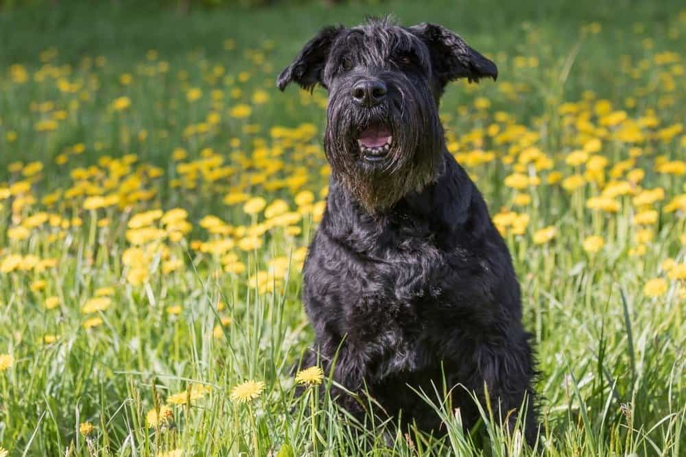 A giant Schnauzer sitting in a field with tall grass and yellow dandelions.