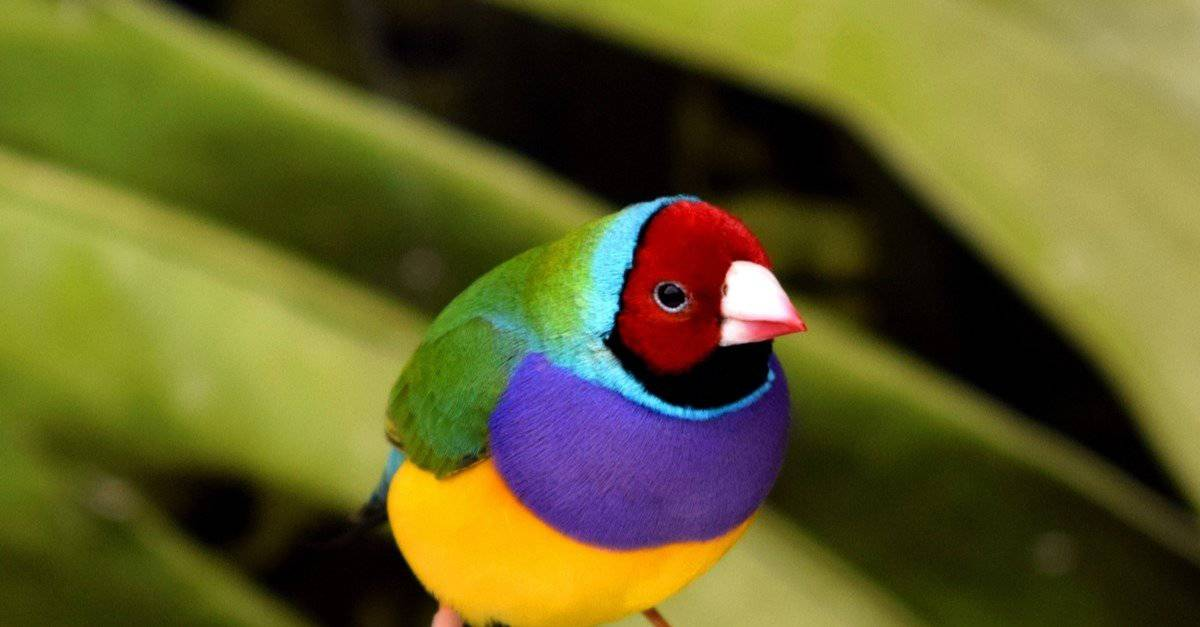 Gouldian Finch Bird Facts   Erythrura gouldiae   AZ Animals