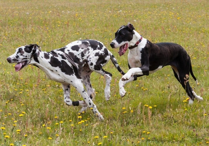 Two Great Danes running through a field with yellow dandelions.