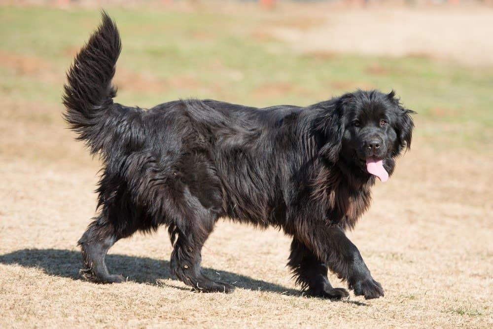 A black Newfoundland walking in the grass with its tongue out.