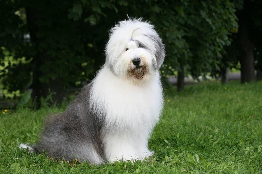 An Old English Sheepdog sitting in the grass in front of trees.