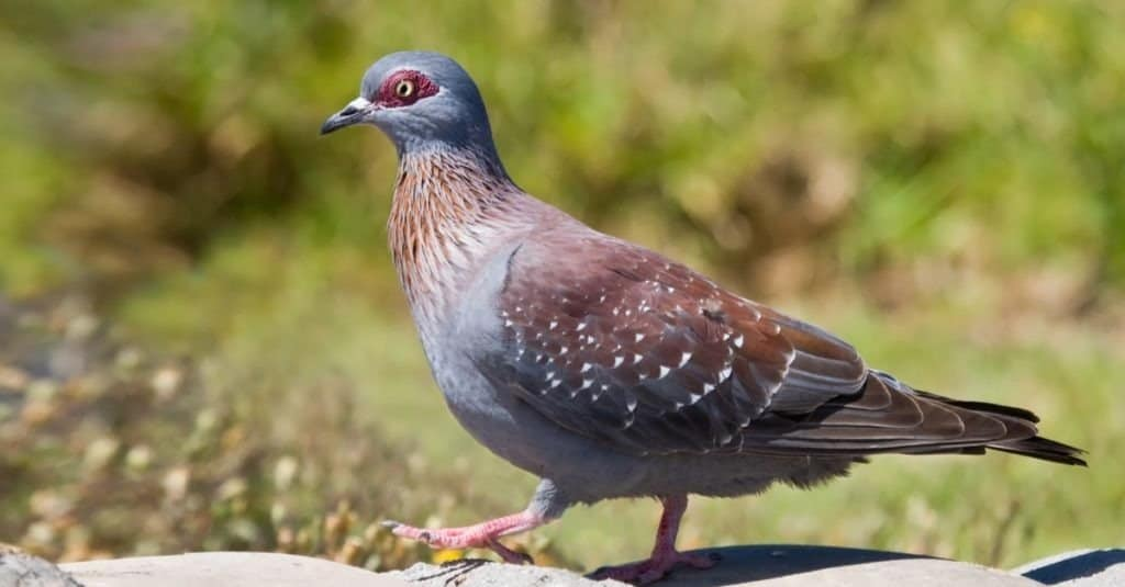 Red Eyed Pigeon walks on a rock to go and eat