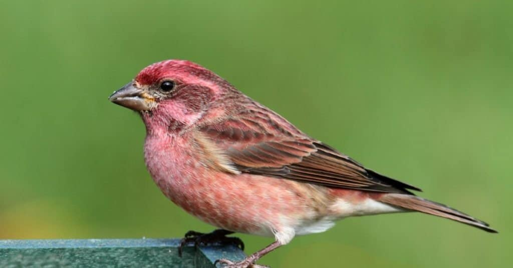 Male Purple Finch perched on a feeder with a green background