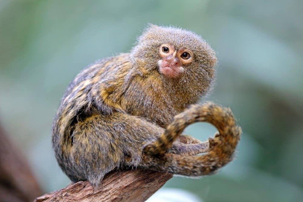 Un tití pigmeo sentado en la rama de un árbol.
