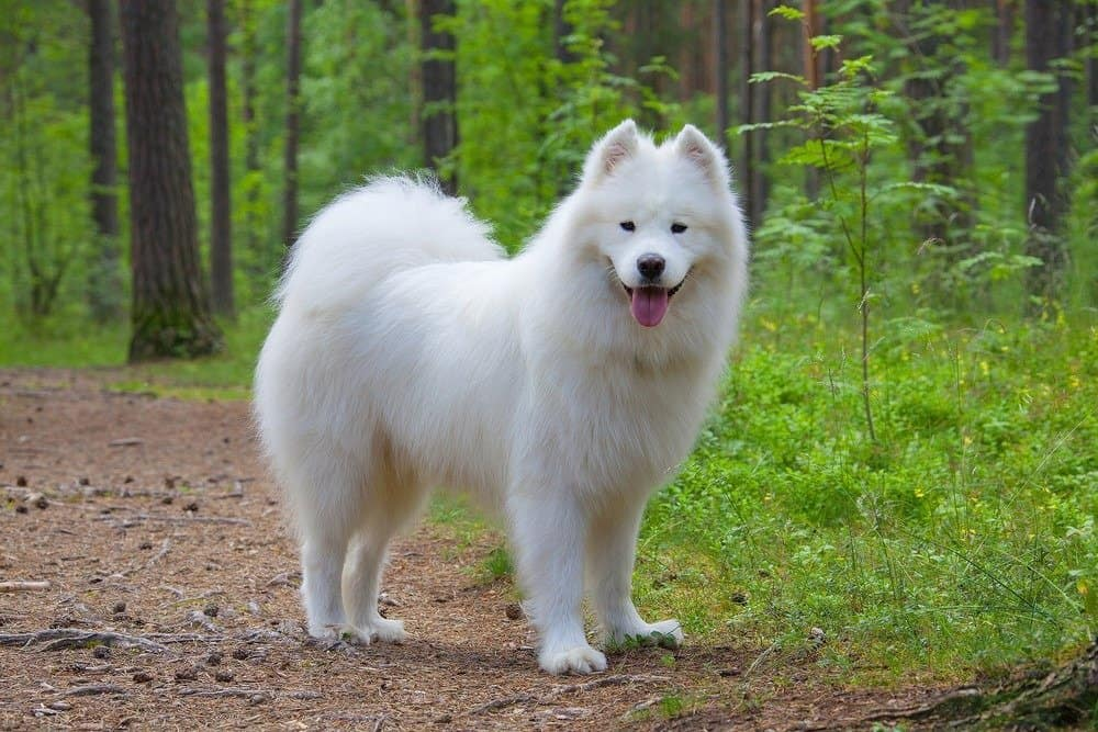 A Samoyed with its tongue out standing in a forest.