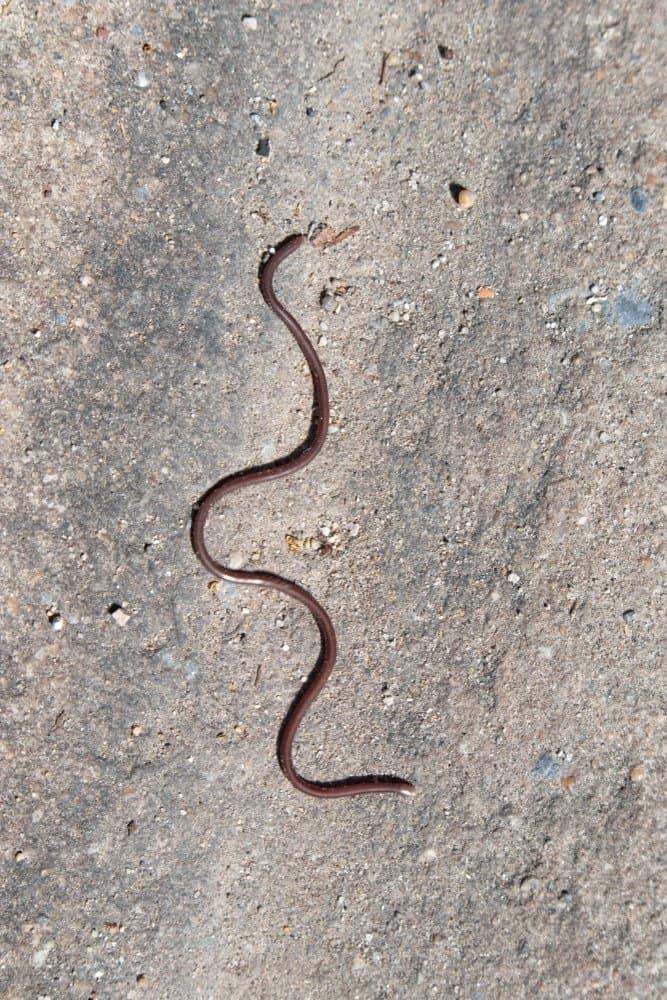 Una esbelta serpiente ciega deslizándose sobre una roca.