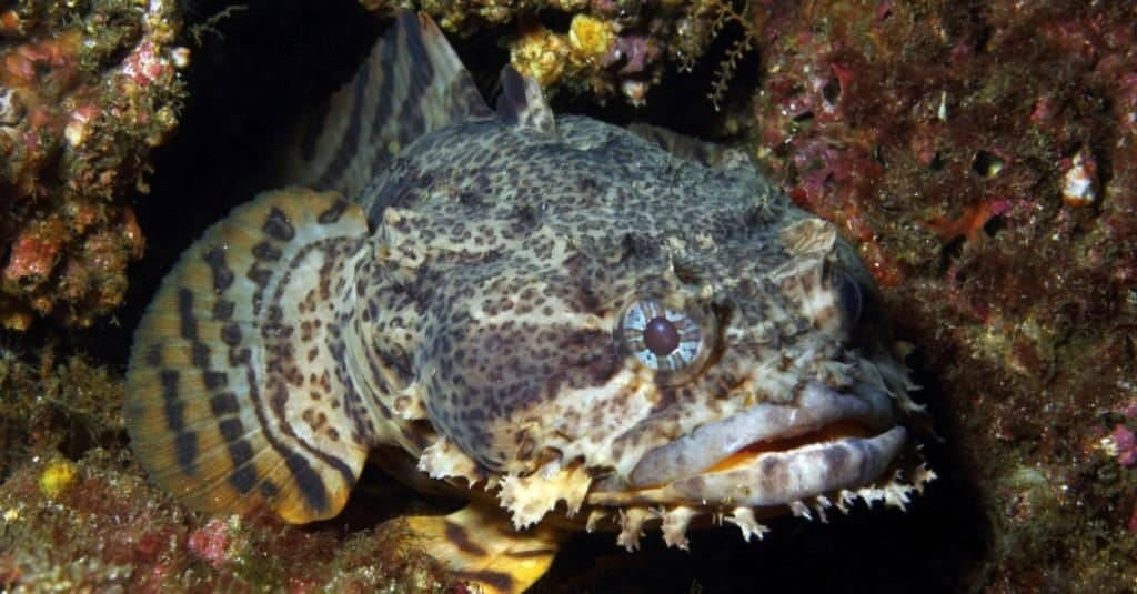 An Oyster Toadfish waits in its lair