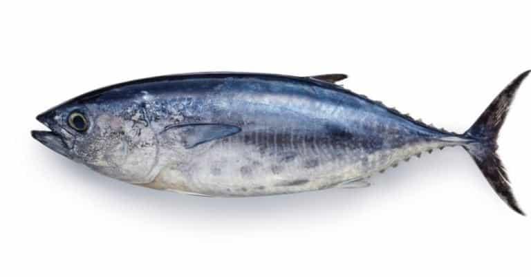 Yokowa (young Pacific Bluefin Tuna) on white background