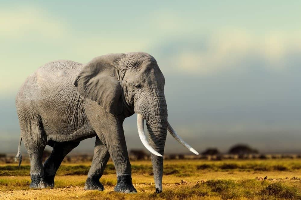 An African elephant walking in the dirt.