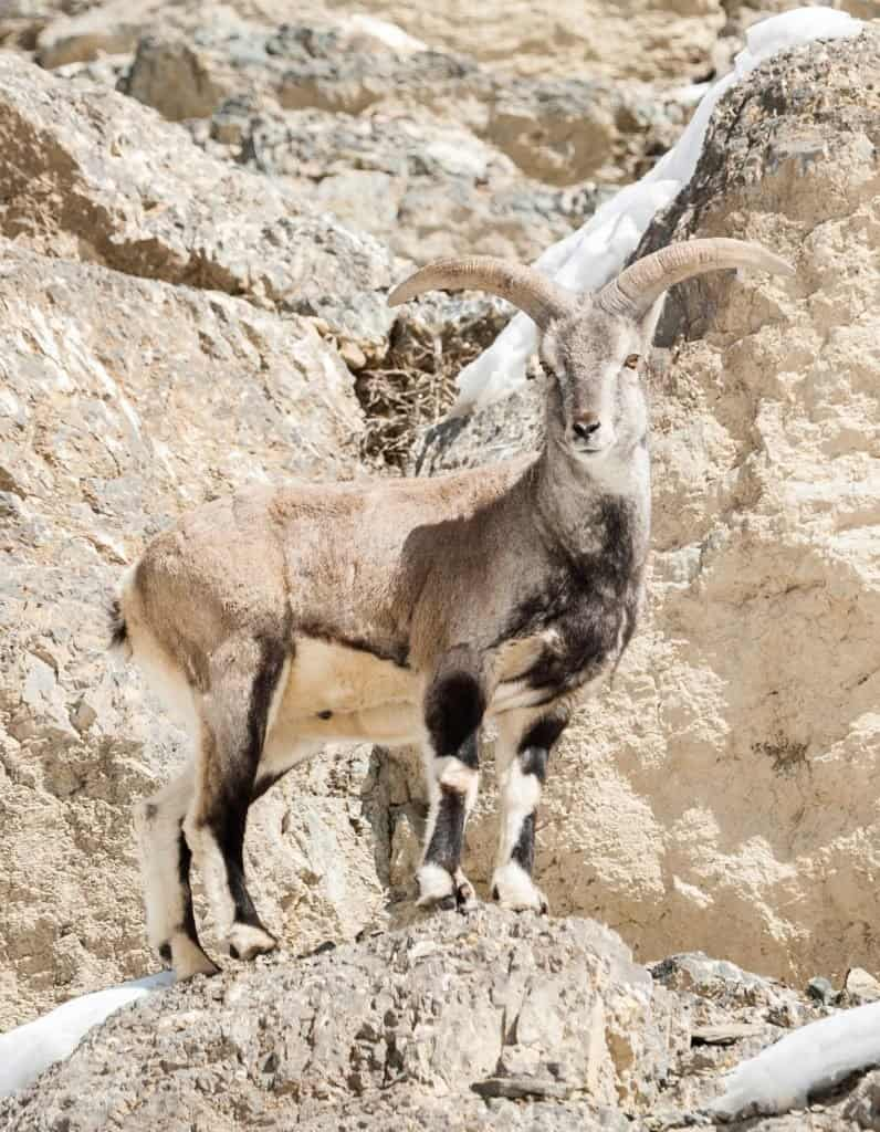 A bharal standing on the edge of a cliff.