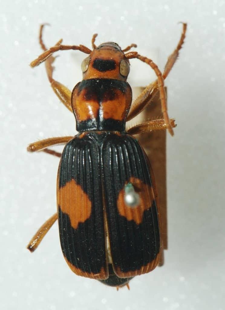 A pinned Bombardier Beetle.