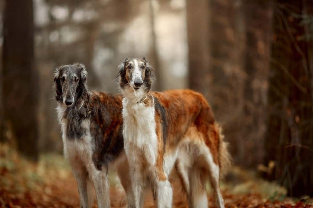Two borzoi dogs standing in a forest.