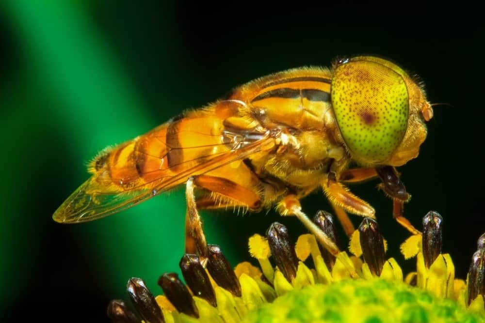 A close-up of a fruit fly perched on a plant.