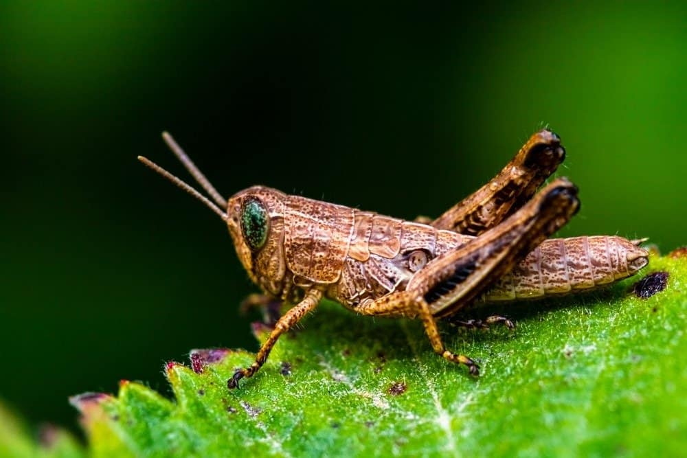 A grasshopper resting on a green leaf.