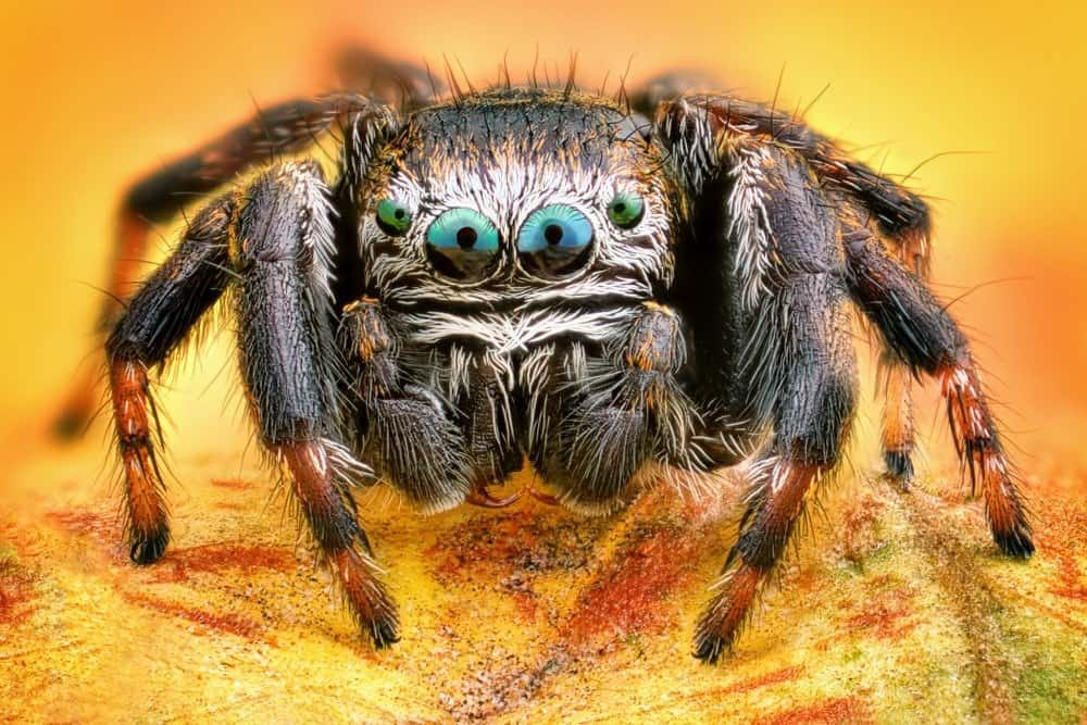 A close-up of a jumping spider.