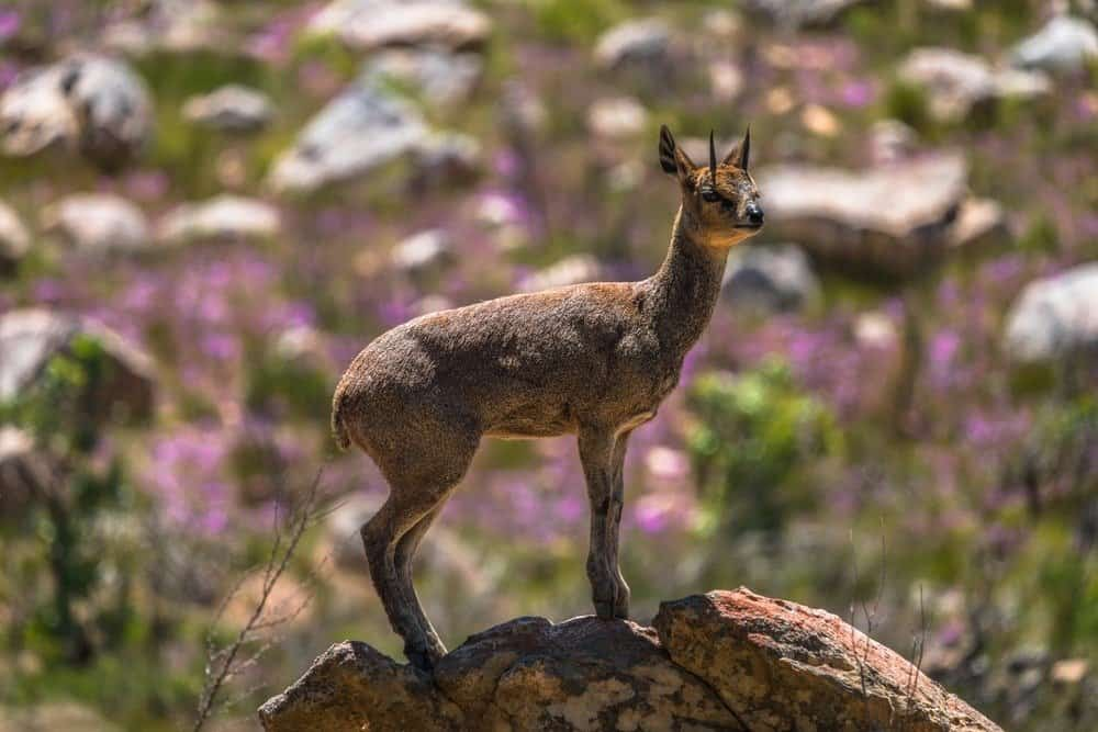 A klipspringer standing on top of a rock with large rocks and purple flowers in the background.