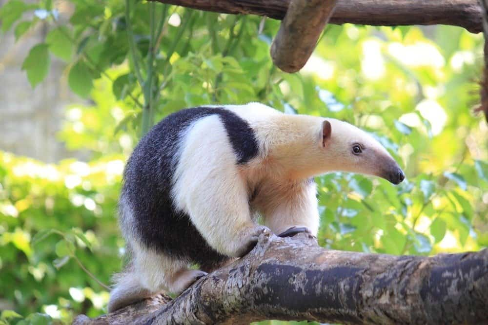 A lesser anteater standing on a tree branch with green leaves.