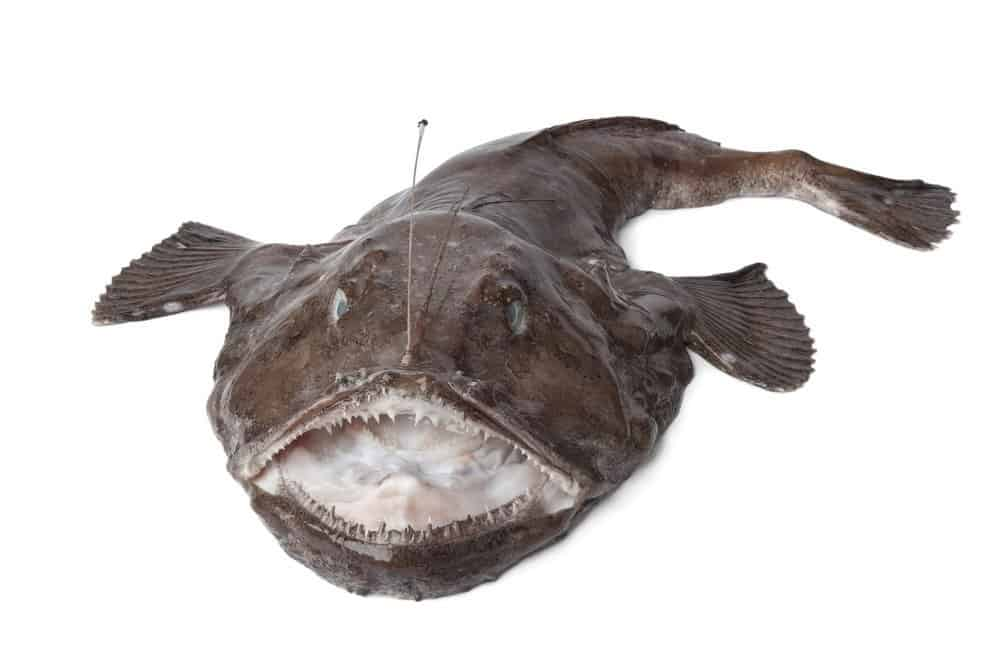 A monkfish with its mouth open against a white background.
