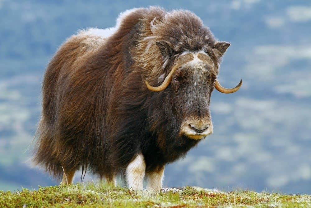 A musk ox standing in the grass.