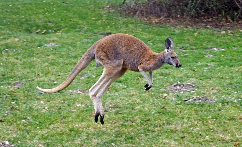 A red kangaroo in the grass, mid-bounce.
