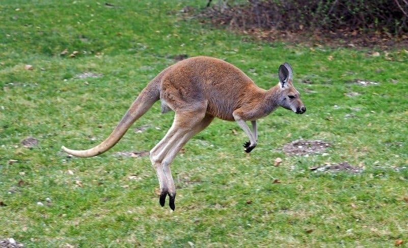 Un canguro rojo en la hierba, a mitad de un rebote.
