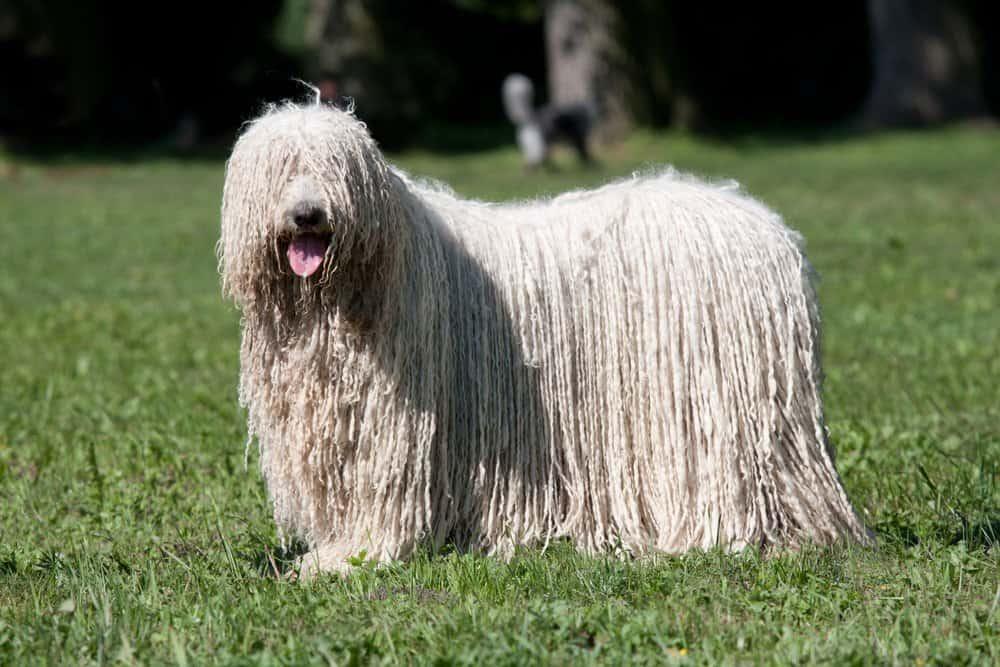 Komondor dog standing in the grass.